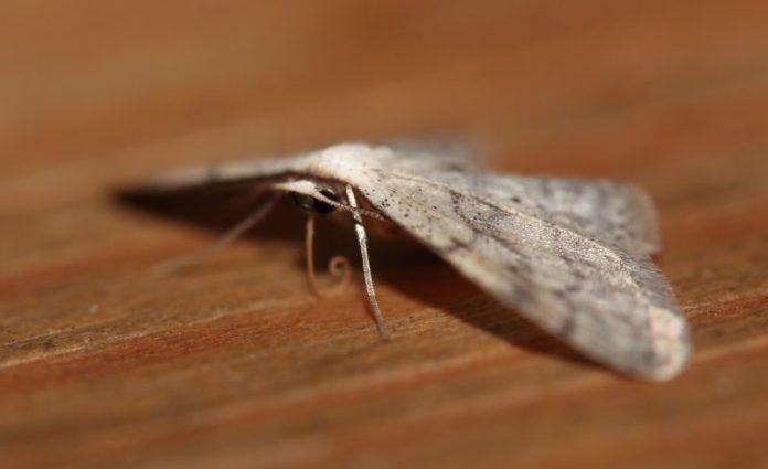 Schmetterlingswesen