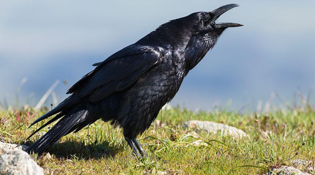 Corvus Corax - Der Kolkrabe
